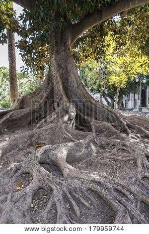 Cadiz Spain- April 1: Giant Rubber Tree