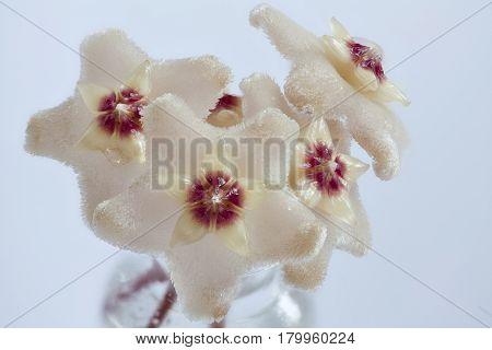 Nectar on Hoya flowers white background macro shot