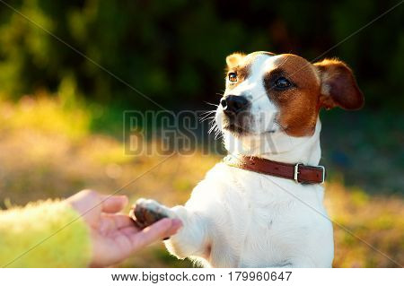 Friendship between human and dog - shaking hand and paw. Jack Russell terrier dog