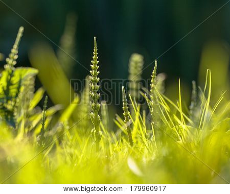 Field Horsetail Weed