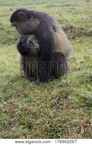 Endangered Golden Monkey Portrait With Baby, Volcanoes National Park, Rwanda