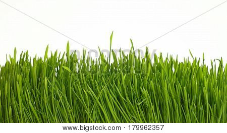 Spring Green Grass Close Up Low Angle Over White