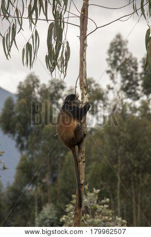 Endangered Golden Monkey In Tree Volcanoes National Park, Rwanda