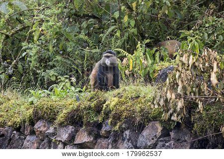 Endangered Golden Monkey On Buffalo Wall, Volcanoes National Park, Rwanda
