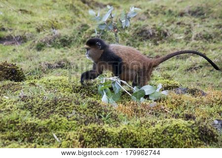 Endangered Golden Monkey Foraging, Volcanoes National Park, Rwanda