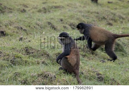 Endangered Golden Monkey Crop Raiding, Volcanoes National Park, Rwanda