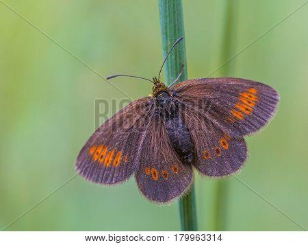 Resting Erebia Butterfly