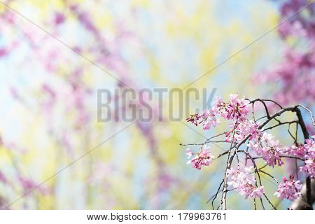 A branch of beautiful spring cherry blossom with flower buds in front, with early spring soft pastel green and pink background. Shallow depth of field.