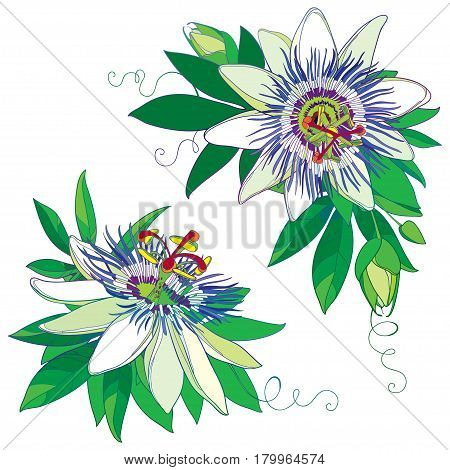 Vector tropical blue Passiflora or Passion flower. Outline exotic flowers, bud and leaf isolated on white background. Corner composition with floral elements in contour style for summer design.