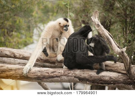 Family of Northern white cheeked gibbon (Nomascus leucogenys).