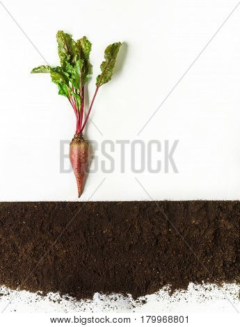 Beetroot grow above ground, cross section, cutout collage. Growing plant with leaves isolated on white background. Agricultural, botany and farming concept