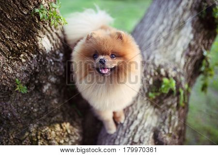 Pomeranian dog on tree. Beautiful dog. Spitz