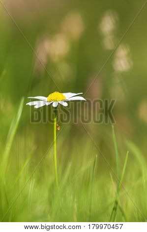 Single White Daisy (leucanthemum Vulgare) In A Green Agricultural Pasture