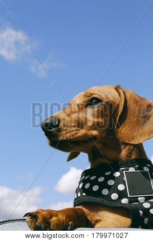 5 months old smooth brown dachshund puppy in a harness relaxing outside, blue sky on the background.