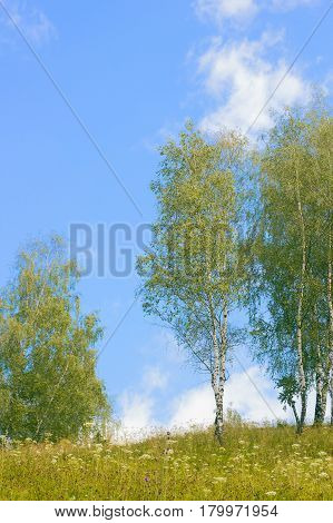 Landscape with young birch trees against blue sky