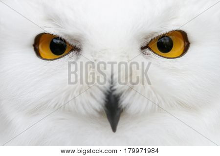 Evil eyes of the snow - Close-up portrait of a Snowy owl (Bubo scandiacus) looking directly into the camera.