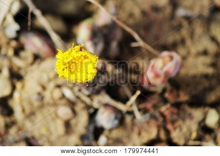 Yellow flower mother and stepmother Tussilago farfara