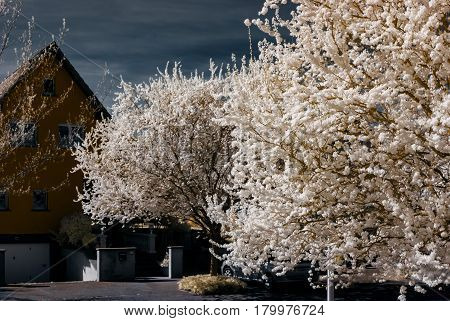 Sakura Flowering In Infra Red View