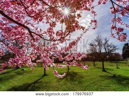 Pink Sakura Flowering In France, Springtime