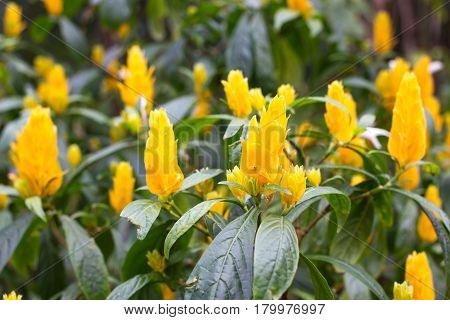 Pachystachys lutea yellow shrub in garden. Lollipop golden shrimp plant. Botanical