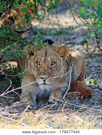Portrait of an isolated Lioness next to a bush, she is very interested in something in the distance - Hwange National Park, Zimbabwe,