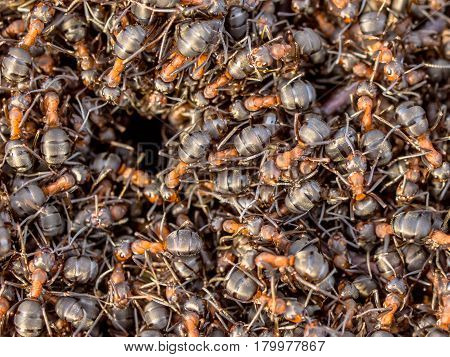 Red Ant Colony Hustle around the entrance