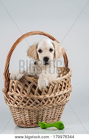 Golden retriever puppy in basket and toy