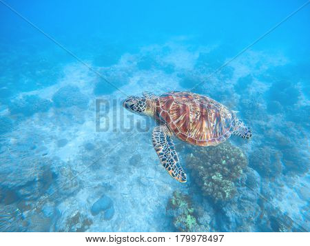 Sea turtle in water. Sea bottom with sand and plants. Tropical seashore with rare marine species. Snorkeling with sea tortoise. Oceanic animal green turtle in wild nature. Underwater scene with animal