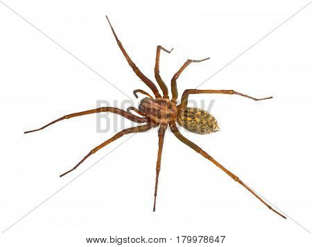 Hairy House Spider Isolated On White