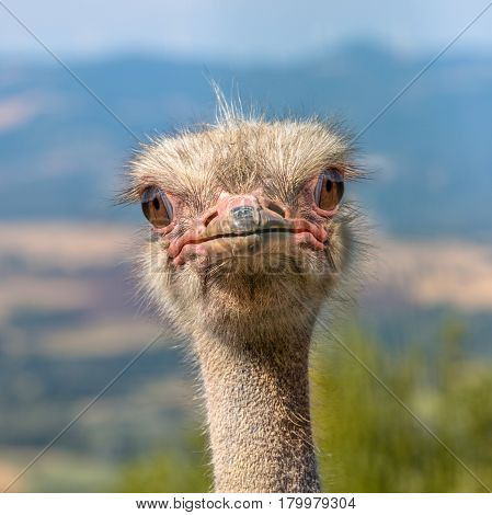 Head Of An African Ostrich Looking Straight In The Camera