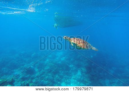 Green turtle in seawater above coral reef. Marine animal in wild nature. Olive green turtle swims under boat bottom. Tropical lagoon scene. Underwater wildlife photo. Corals and seaweeds on sea bottom