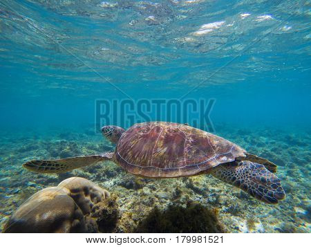 Sea turtle in shallow sea water by the coral reef. Oceanic animal with shell and fins. Lovely turtle underwater photo. Olive green turtle in tropical seashore. Blue seawater scene with sea tortoise