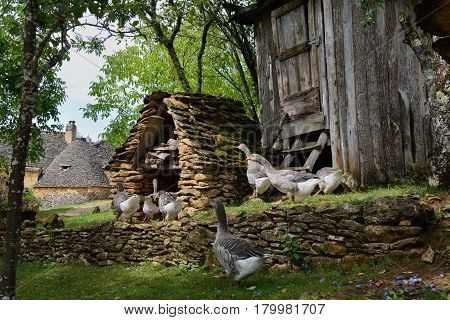 Grey foie gras geese walking to their goose house on a traditional goose farm near Sarlat Perigord Dordogne region France.