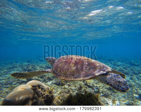 Sea turtle in shallow sea water by the coral reef. Oceanic animal with shell and fins. Lovely turtle underwater photo. Olive green turtle in tropical seashore. Blue sea water scene with sea tortoise