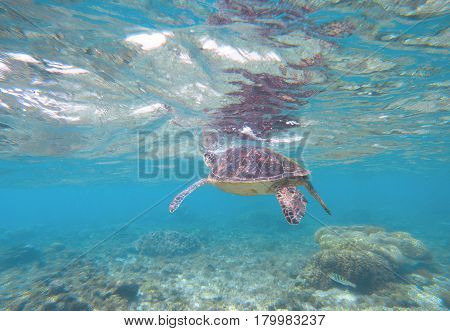Sea tortoise taking breath from water surface. Snorkeling with marine animal. Olive green turtle in tropical lagoon. Sea environment with plants and animals. Oceanic life protection. Underwater scene