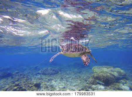 Green turtle taking breath from water surface. Snorkeling with marine animal. Wild sea tortoise in tropical lagoon. Sea environment with plants and animals. Oceanic life protection. Underwater scene