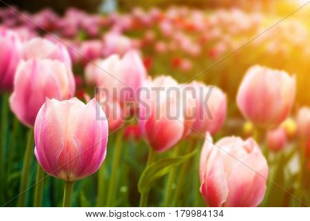 Pink tulips with depth of field and sunlight effects