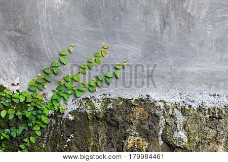 The old stone and concrete wall with plant morning glories and cracks