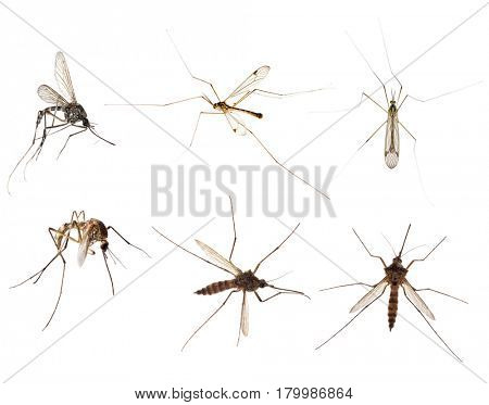 six mosquitoes isolated on white background