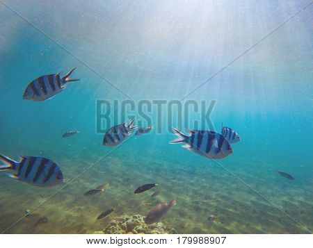 Exotic fish Sergeant in shallow water under sunlight. Underwater photo with coral fishes colony. Yellow black striped fishes in tropical seashore. Aqua blue seawater with sunlight rays and animals