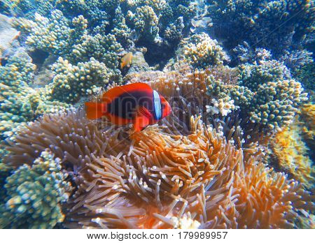 Red clown fish in actinia closeup photo. Clownfish in coral reef. Underwater photo with tropical coral fishes. Sea bottom scene with marine animals. Diving or snorkeling in exotic seashore.