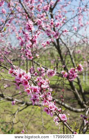detail of blossom peach tree