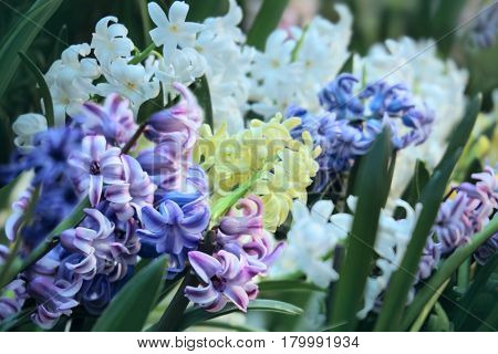 Hyacinth multi-colored flowers in garden. Close up