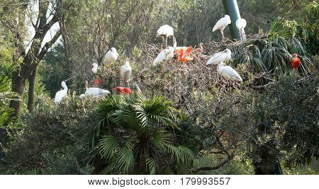 White and red ibis birds are sitting on a tree