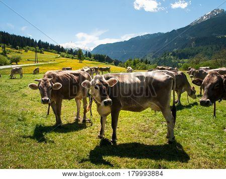 Lukmanierpass Walley Switzerland: Cows grazing next to the farm.