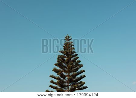 Norfolk Island Pine Tree with Sky View