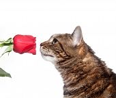 Large tabby cat investigates a red rose white background. Possible use for dangers for household pets. poster