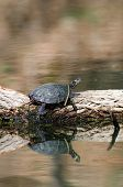 Adult painted turtle basking in the sun on a log in an Illinois pond poster