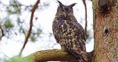 Eurasian eagle-owl or Bubo bubo is a species of eagle owl that resides in much of Eurasia. Sitting on a branch in a tree. poster