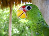 cotorra parrot green from Central America Mexico jungle poster